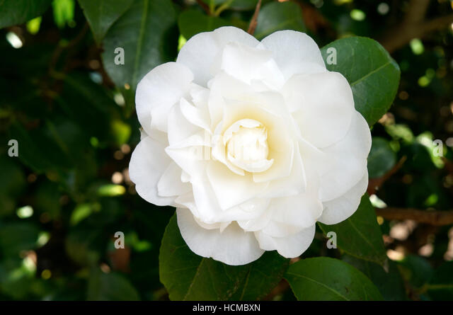 closeup-of-a-white-camellia-flower-in-sp