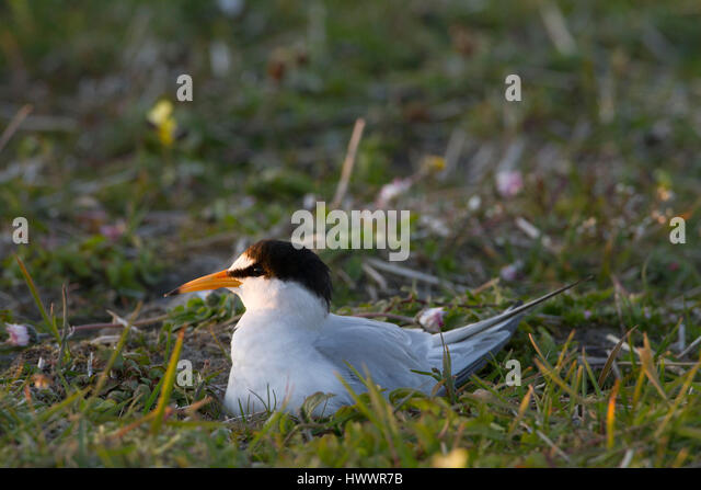 Little Terns (Sterna albifrons ) at the nest in machir with characteristic flowers-daisies and Coastal pansies. - Stock Image