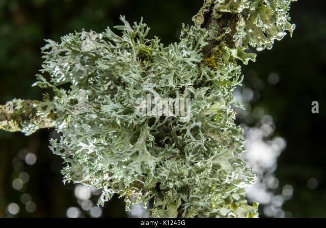 reindeer-lichen-cladonia-rangiferina-gro