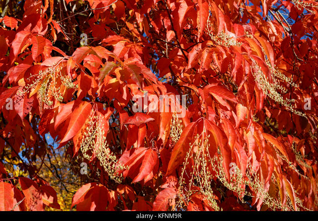 close-up-of-red-fall-foliage-of-a-sourwo