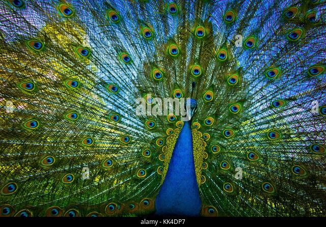 peacock-of-the-park-of-bagatelle-of-the-