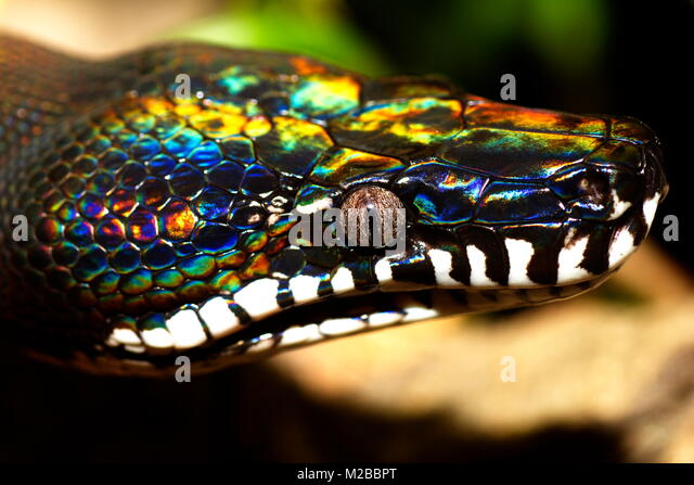 white-lipped-python-snake-from-papua-new