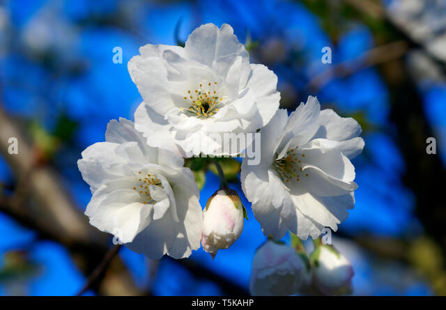 a-cluster-of-white-cherry-blossoms-in-sp