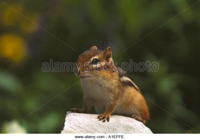 chipmunk-canada-tamias-striatus-a1effe.j