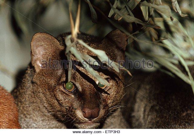 Wieselkatze, Jaguarundi (Felis yagouaroundi, Herpailurus yagouaroundi), Portraet, Widkatzenart aus Mittel- und Suedamerika - Stock Image
