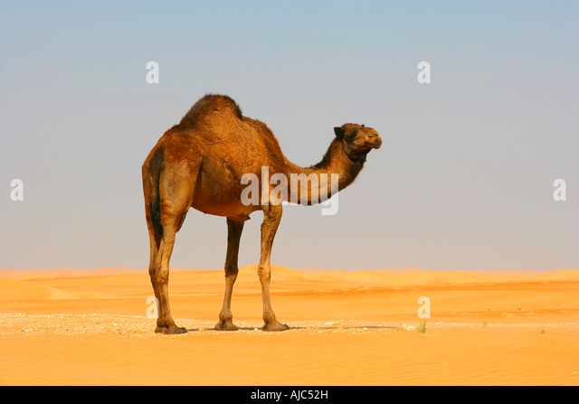 the camel and the jackle essay
