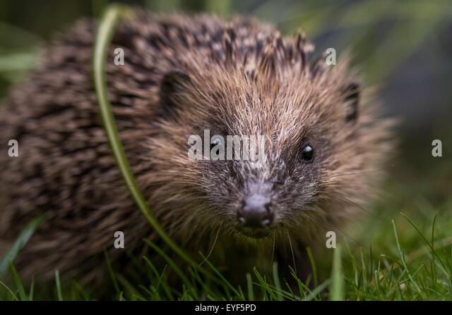 young-hedgehog-erinaceus-europaeus-looki