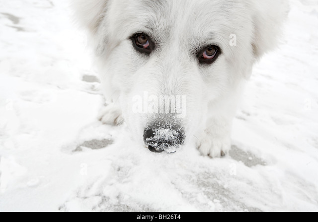 Great pyrenees eating snow - Stock Image