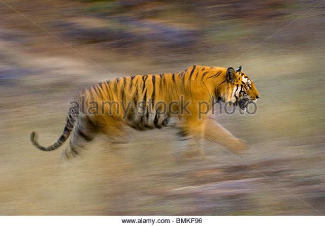 male-bengal-tiger---sundar-b2-running-an