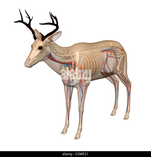 White tailed deer anatomy