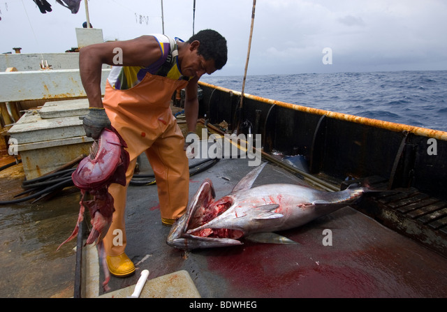 Atlantic bluefin tuna  Wikipedia