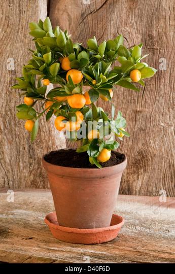 characterisation of calamansi citrus microcarpa