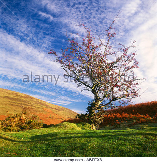 hawthorn-tree-crataegus-monogyna-in-autu