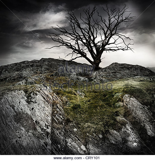lonely old tree - Stock Image
