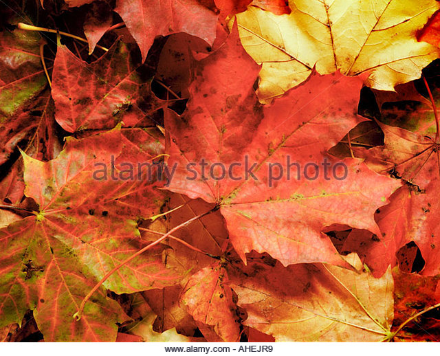 autumn-maple-leaves-AHEJR9.jpg