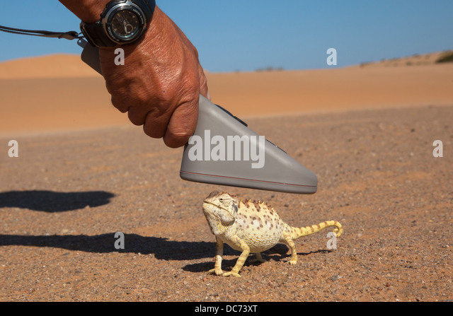 Namaqua chameleon (Chamaeleo namaquensis), being scanned for microchip, part of conservation project, Namib Desert, - Stock Image