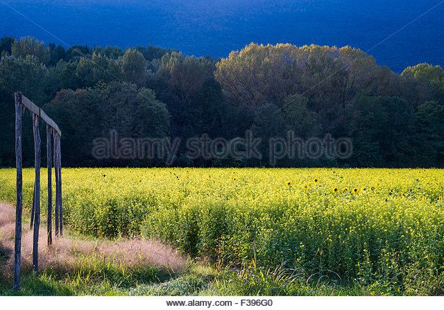 colza-flower-field-at-sunset-f396g0.jpg
