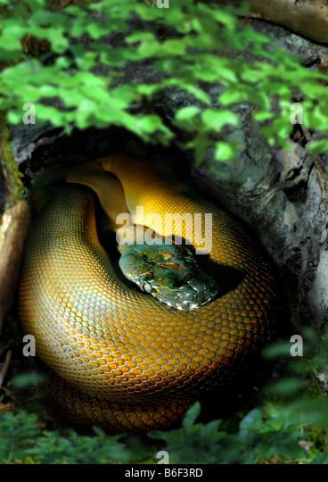 white lipped pythons