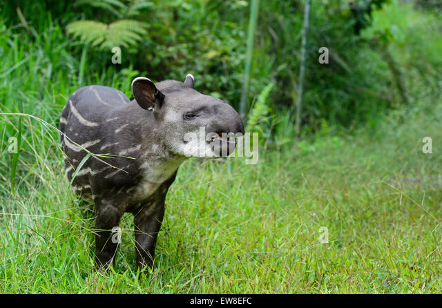 Tapir Rainforest  Facts Diet amp Habitat Information