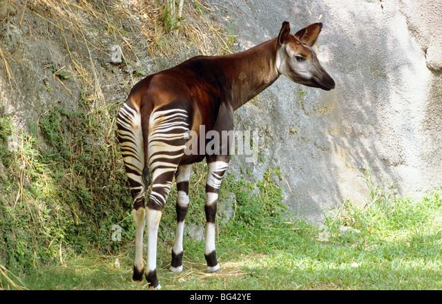 Okapi in the wild