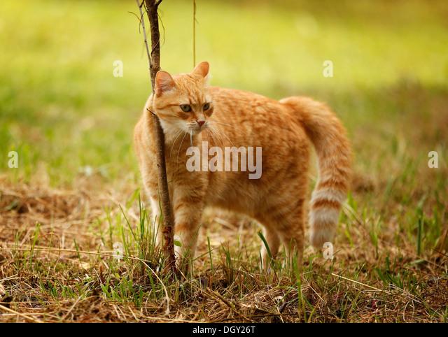 snowshoe cat price