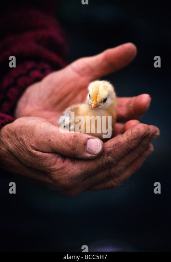 rough-dirty-hands-cradling-baby-chick-BC