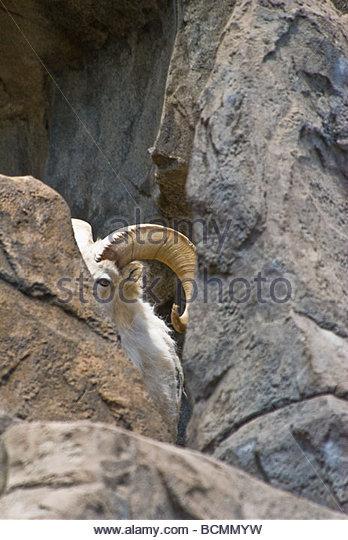 rocky-mountain-bighorn-sheep-ovis-canade