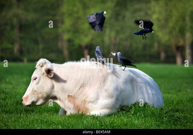jackdaws-corvus-monedula-picking-hair-fr