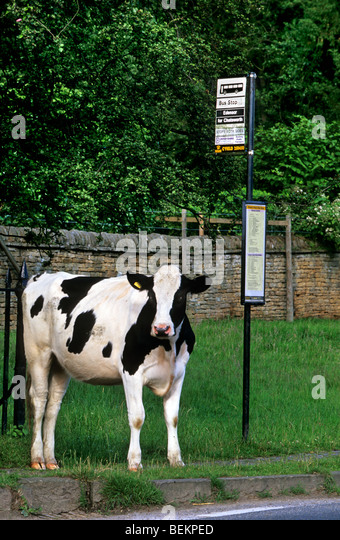 cow-bos-taurus-waiting-at-bus-stop-in-yo