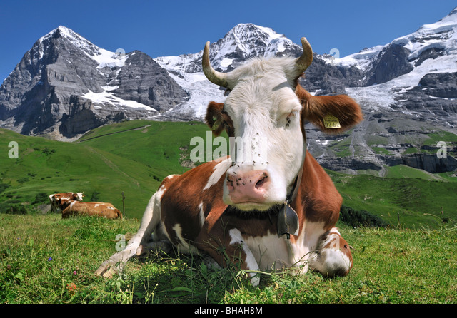 the-eiger-mountain-and-alpine-cow-bos-ta