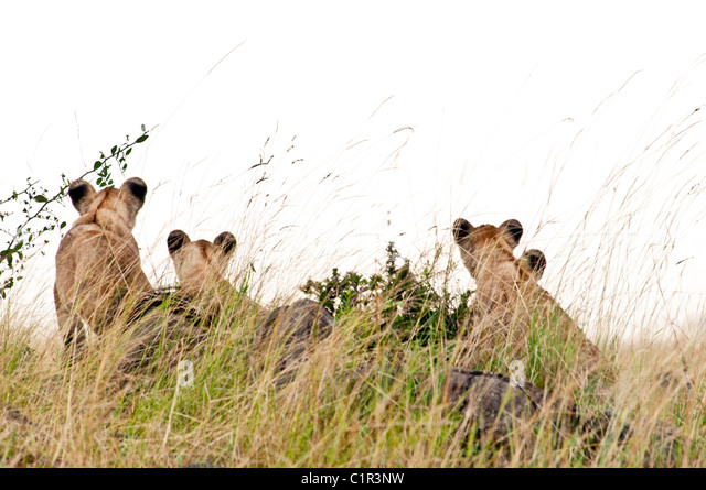 rear-view-of-four-lion-cubs-panthera-leo