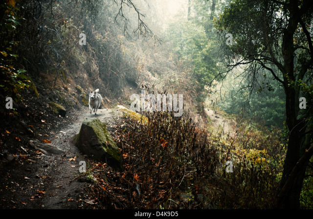Dog running on dirt path in forest - Stock Image