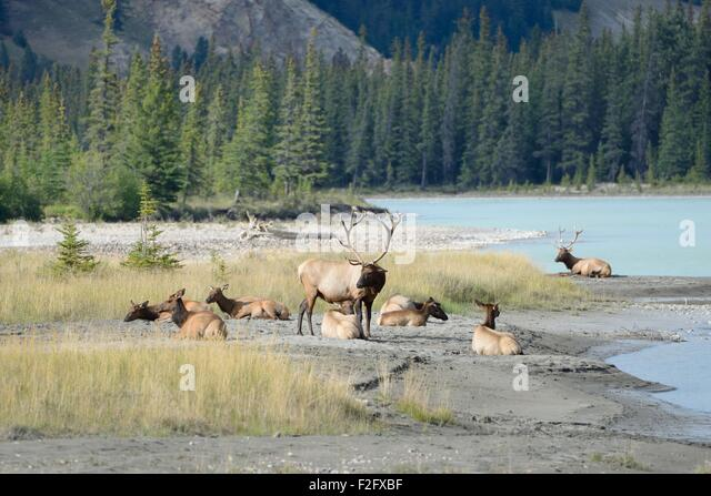 a-male-elk-watches-over-the-herd-as-they