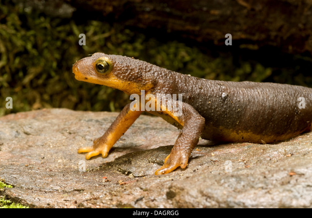 a diet analysis of the adult california newts taricha torosa The wilson bulletin 112(4) an adult male taricha torosa (california newt diet and trophic characteristics of great horned owls in southwestern idaho j.