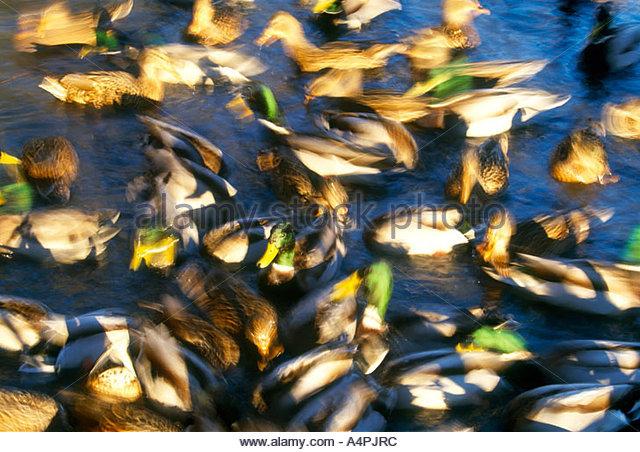 Canada, British Columbia, Refiel WR, Mallard ducks (Anas platyrhynchos) - Stock Image