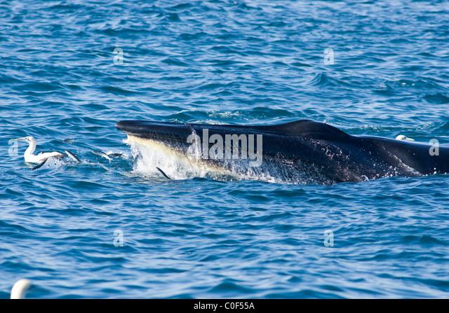 Brydes whale photo  Balaenoptera edeni  G42909  Arkive