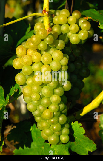 chasselas-grapes-in-the-la-cote-region-v