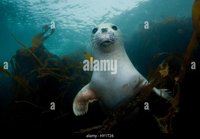 young-harbour-or-common-seal-phoca-vitul