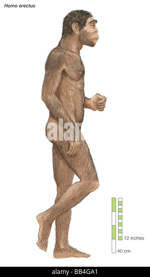 homo-erectus-upright-man-which-lived-fro