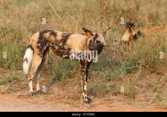 African wild dog hunting lion