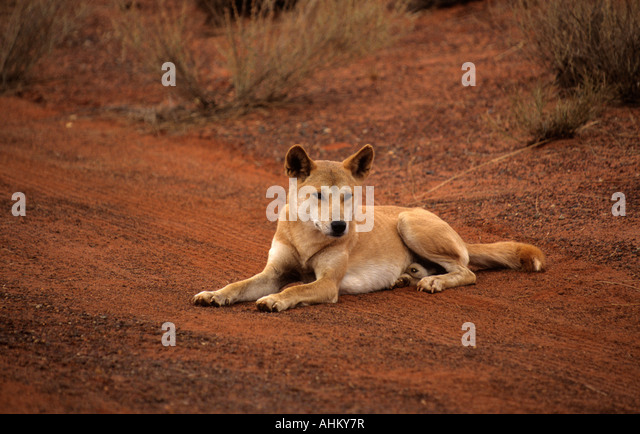dingo canis familiaris where did they The dingo (canis lupus dingo) they have a home range the scientific name of the dingo was recently changed from canis familiaris (domestic dog) dingo to.