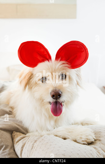 Dog wearing toy ears on bed - Stock Image