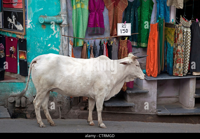 sacred-cow-in-shopping-street-of-udaipur
