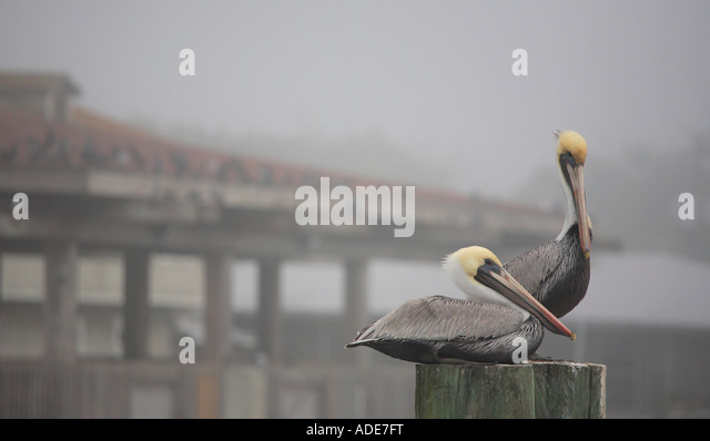 pelicans at the waterfront marina in early morning fog saint marys georgia - Stock Image