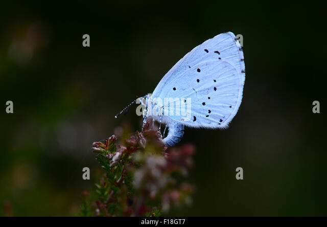 holly-blue-butterfly-at-rest-uk-f18gt7.j
