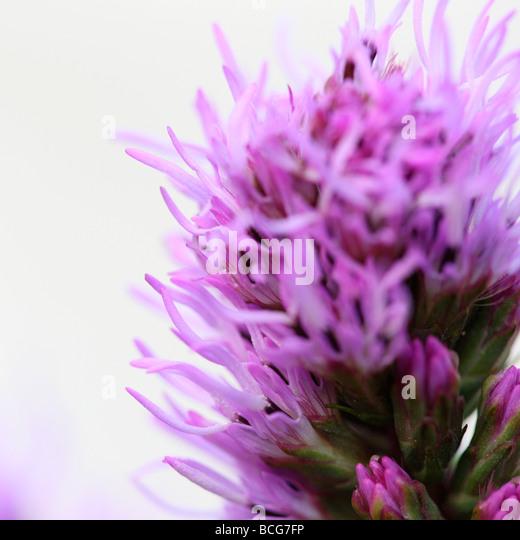 liatris on white fine art photography Jane Ann Butler Photography JABP415 - Stock Image