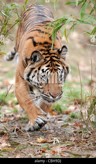 Tiger walking towards camera