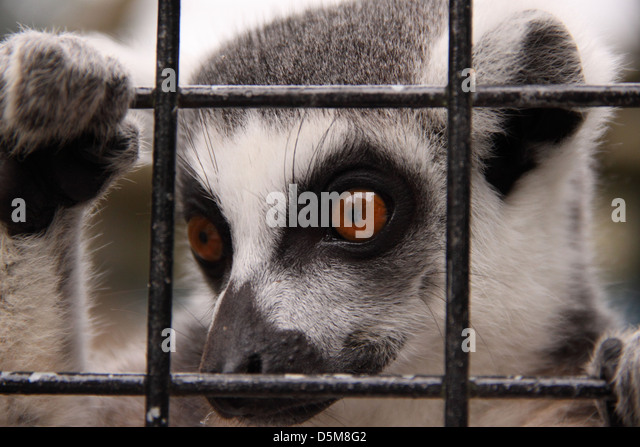 a-ring-tailed-lemur-peers-through-the-ba