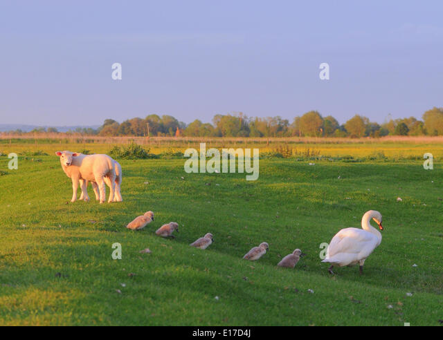 romney-marsh-kent-uk-25th-may-2014-lambs