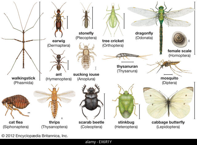 a description of insects neuner out invertebrate animals that belong in the phylum arthropoda and cl